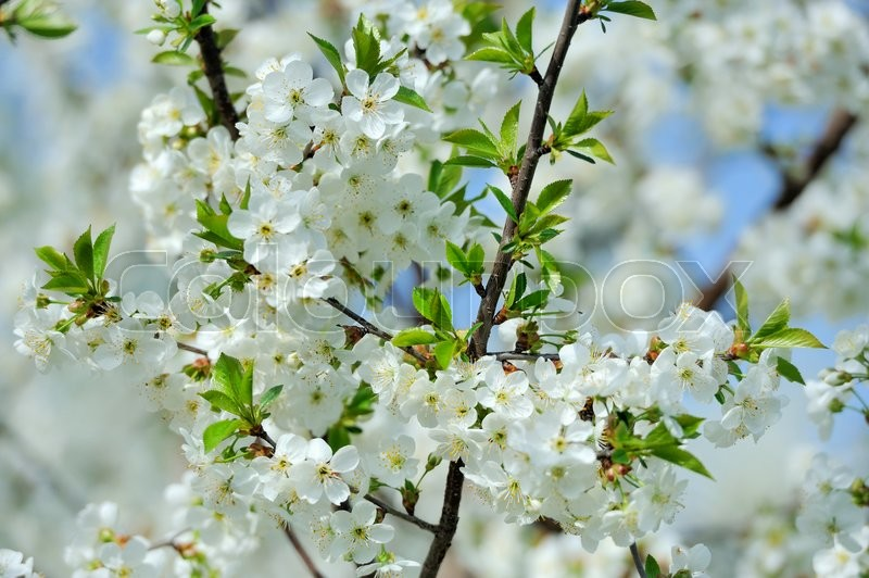 Stock image of 'Beautiful flowers on the apple tree in nature'