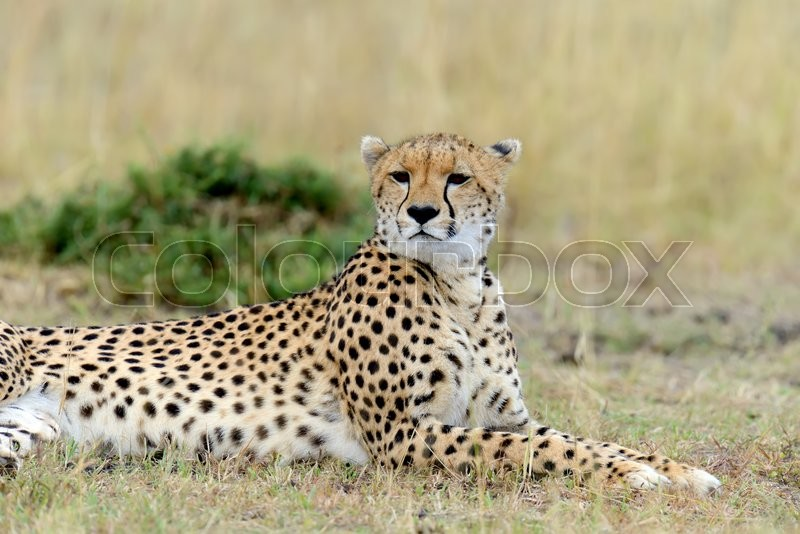 Stock image of 'Cheetah on grassland in National park of Africa'