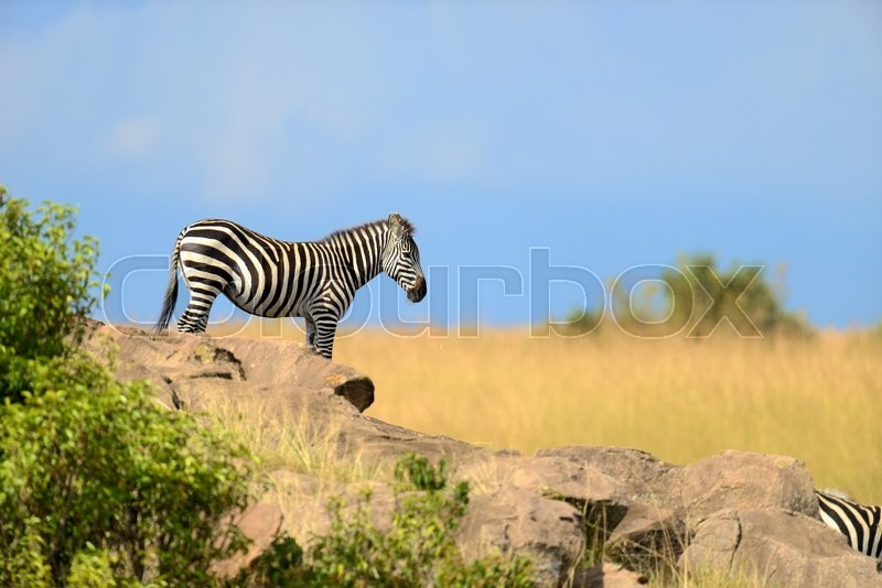 Stock image of 'Zebra on grassland in National park of Africa'