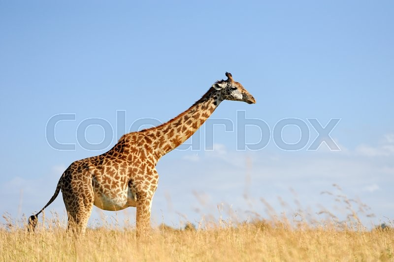 Stock foto af 'national, kenya, close-up'