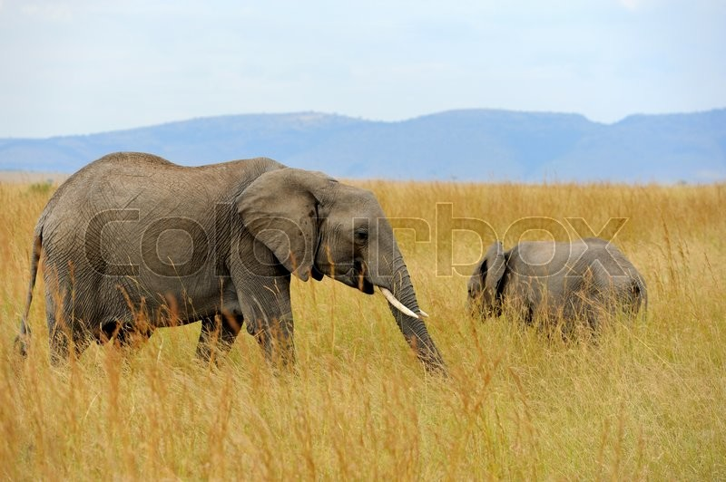 Stock image of 'Elephant on savannah in National park of Africa'