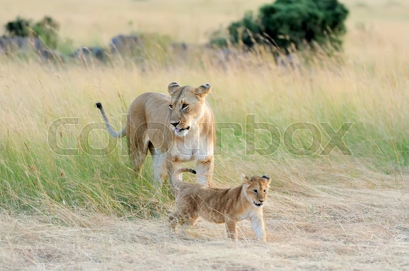 Stock image of 'Female lion with cub in National park of Africa'