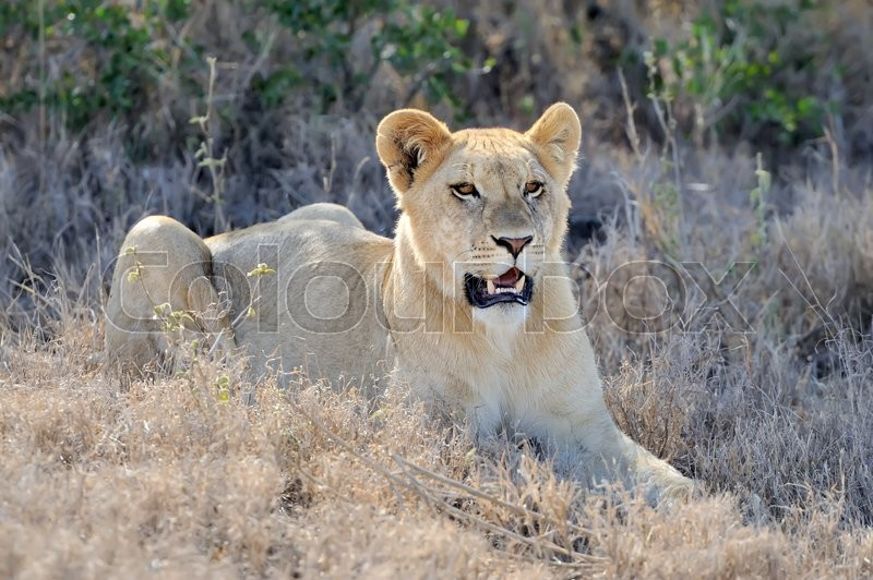 Stock image of 'African lion in the National park of South Africa'