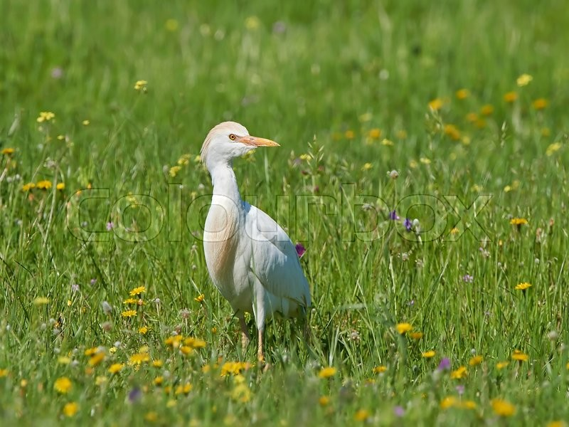 Stock image of 'Cattle egret standing in grass in its habitat'