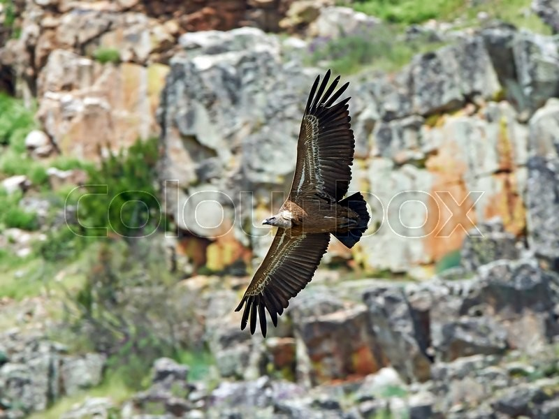 Stock image of 'Griffon vulture in flight with cliffs in the background'