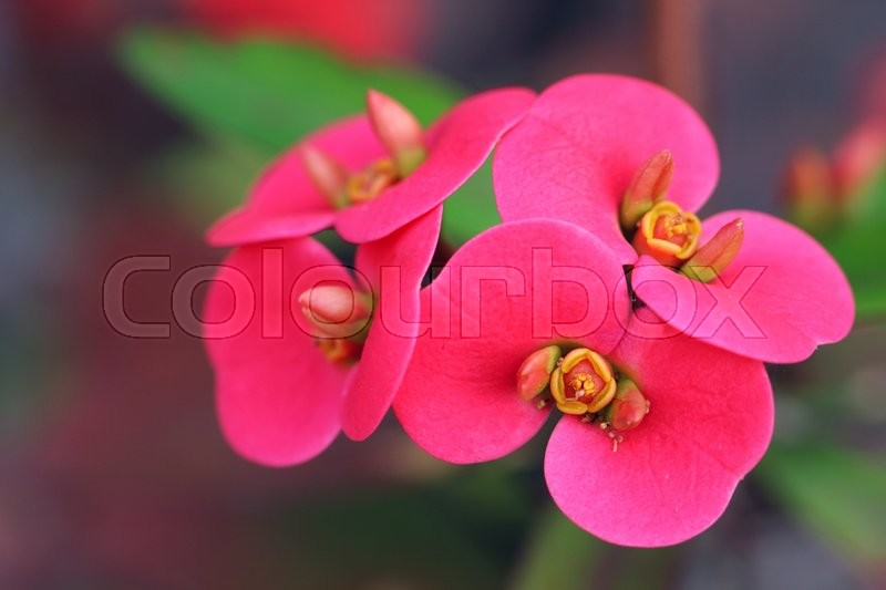 Stock image of 'Euphorbia milii is a succulent plant'