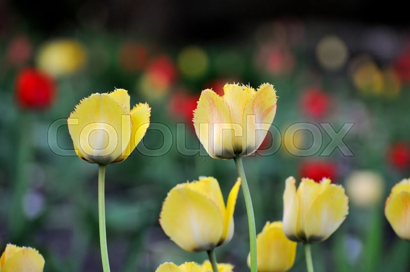Stock image of 'Tulip. Beautiful bouquet of tulips. colorful tulips. tulips in spring,colourful tulip'
