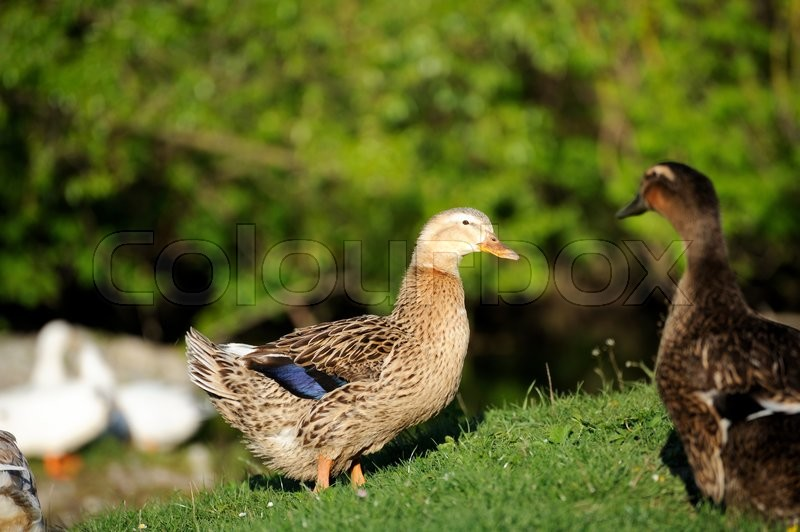 Stock image of 'Beautiful duck animal in wildlife Animal'