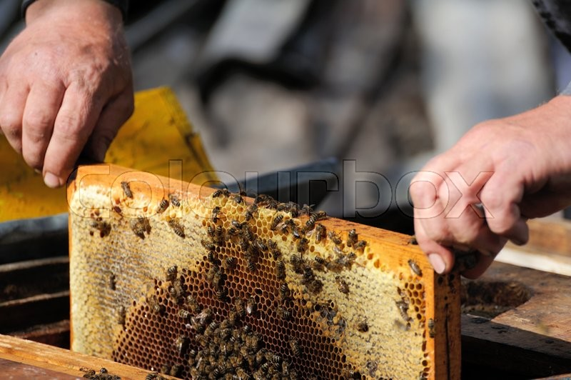 Stock image of 'Beekeeper holding a frame of honeycomb'