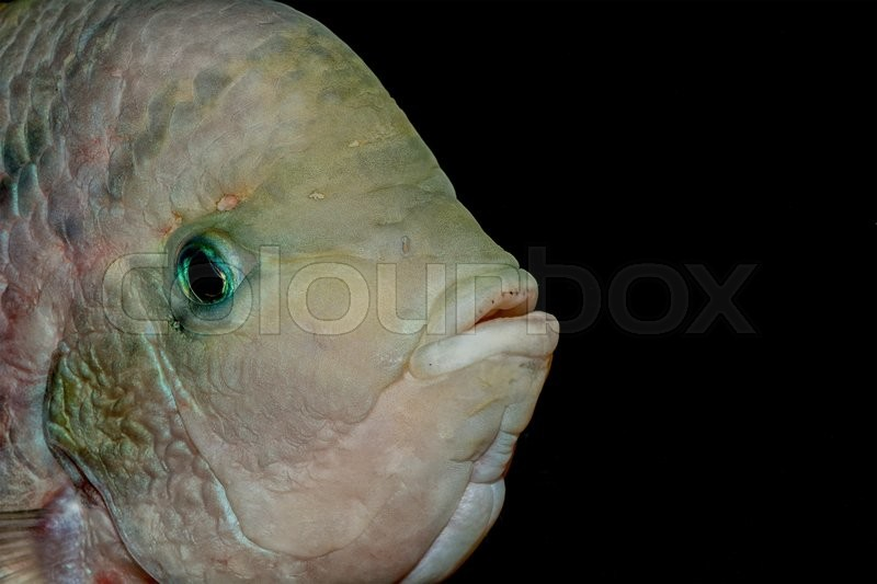 Stock image of 'Detail portrait of cichlid fish from genus Vieja'