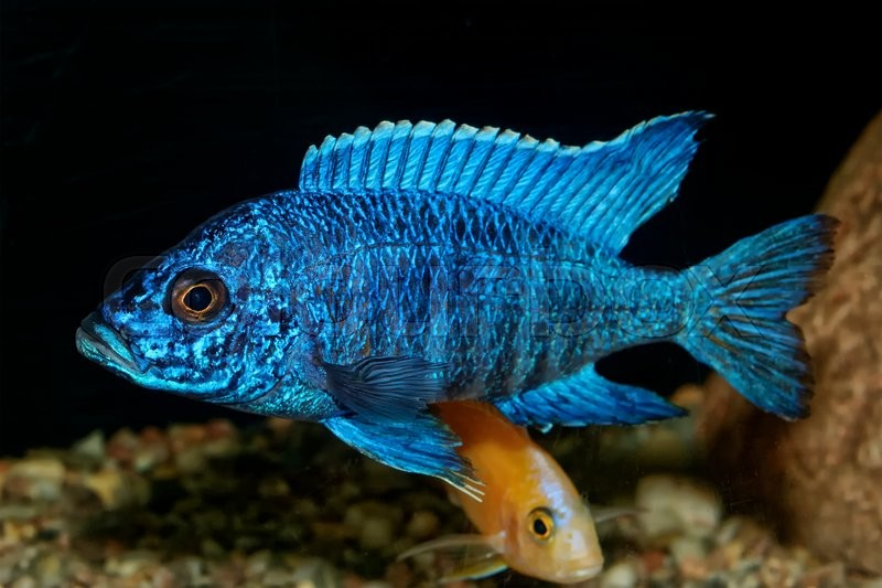 Stock image of 'Nice blue OB male of cichlid fish from genus Aulonocara'
