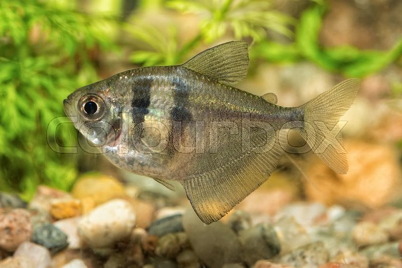 Stock image of 'Nice aquarium fish from genus Hyphessobrycon'