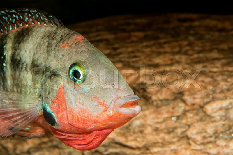 Stock image of 'Detail of head of cichlid fish from genus Thorichthys'