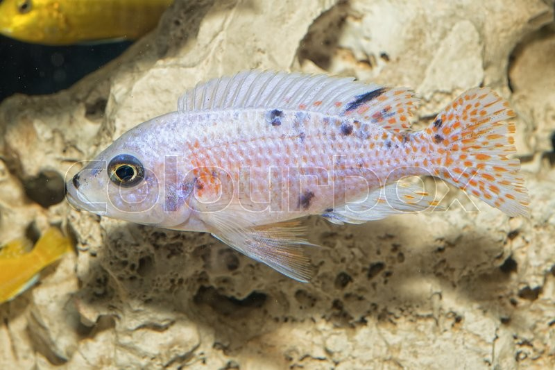 Stock image of 'Nice blue OB female of cichlid fish from genus Aulonocara'