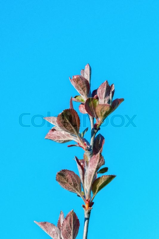 Stock image of 'The young buds on the twig of a tree with blue background'