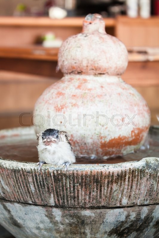 Stock image of 'Close up of a young sparrow at fountain, stock photo'