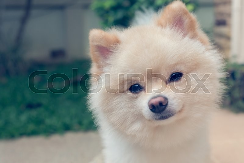 Stock image of 'pomeranian small dog cute pets friendly in home, question face'
