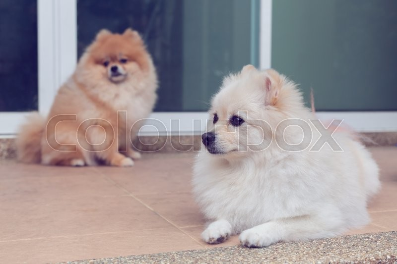 Stock image of 'Pomeranian small dog cute pets friendly in home'