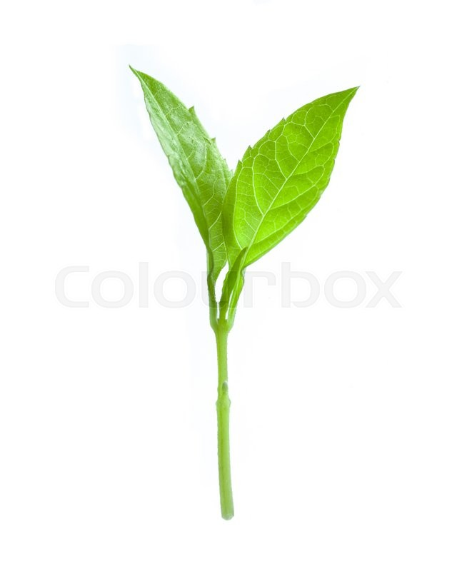 Stock image of 'Basil leaves isolated on white background'