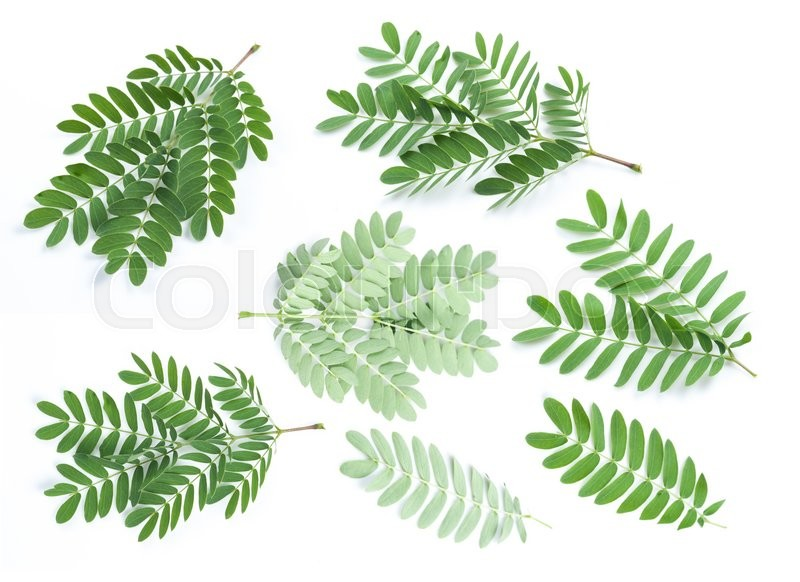 Stock image of 'Collection of Tamarind leaves'