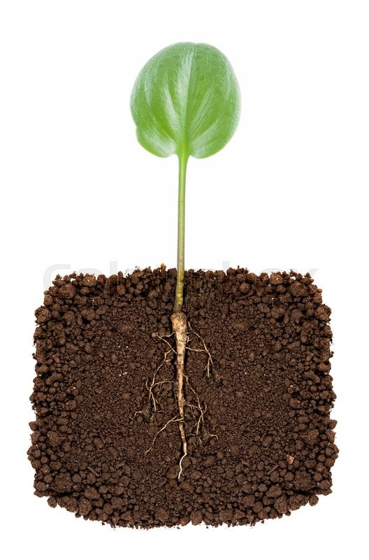 Stock image of 'Growing plant with underground root visible'