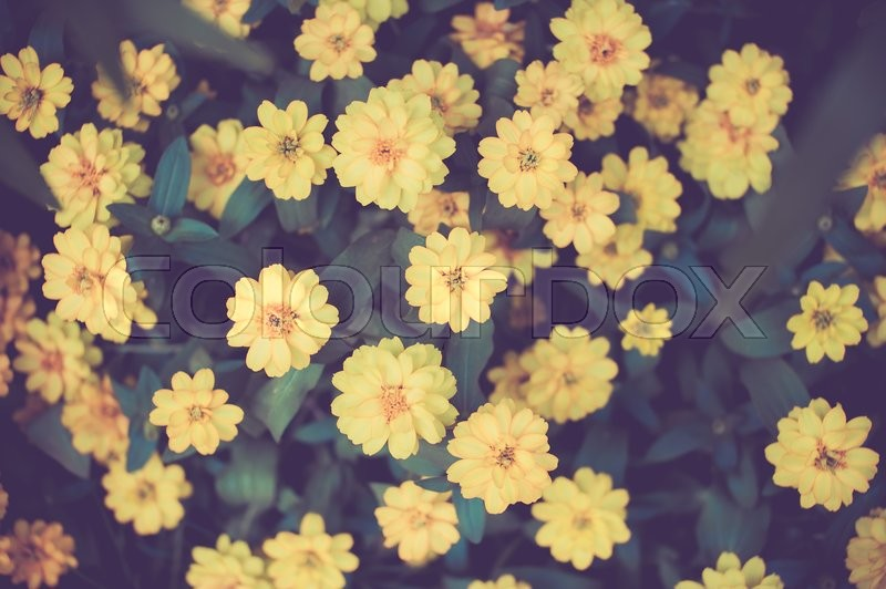 Stock image of 'Cosmos yellow flowers in the garden,top view,vintage color toned image'