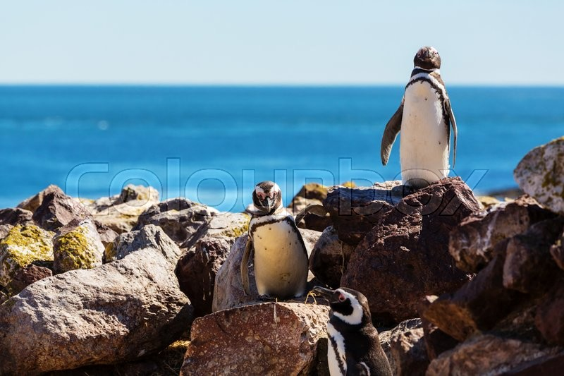 Stock image of 'Magellanic Penguin (Spheniscus magellanicus) in Patagonia'