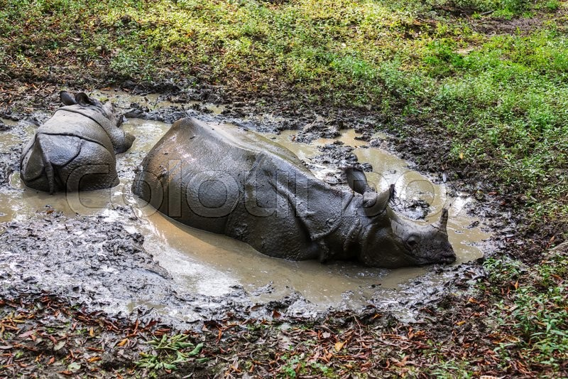 Stock image of 'Rhino is eating the grass in the wild, Chitwan national park, Nepal'