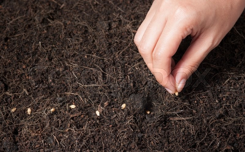 Stock image of 'Hand seeding for planting  into soil,Wheatgrass Seeds'