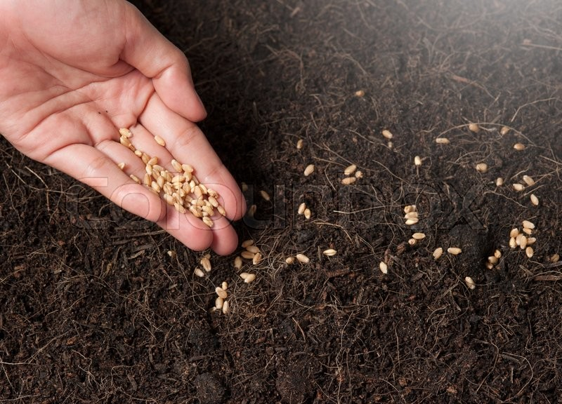 Hand planting seeds in the ground,Wheatgrass Seeds, stock photo