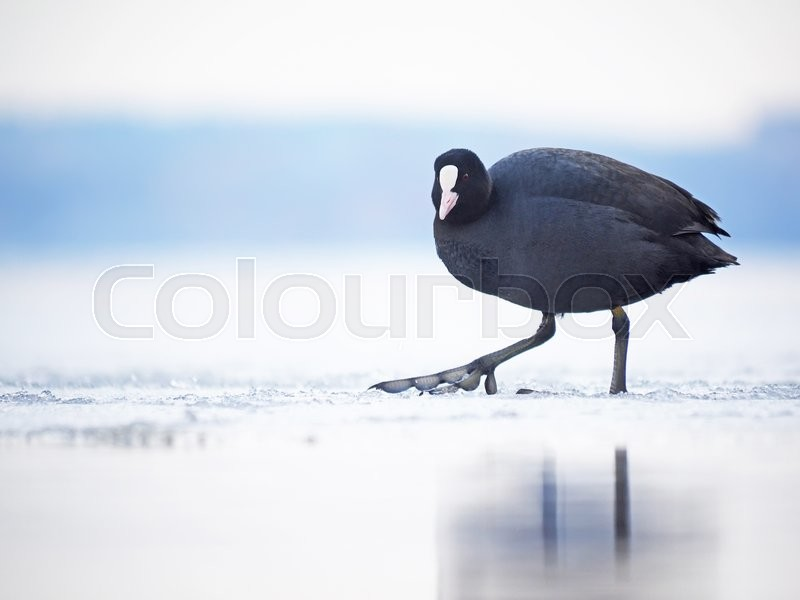 Stock image of 'Rare bird coot on the lake'