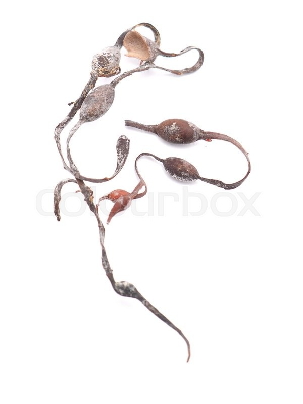 Stock image of 'Dried seaweed fucus on a white background'