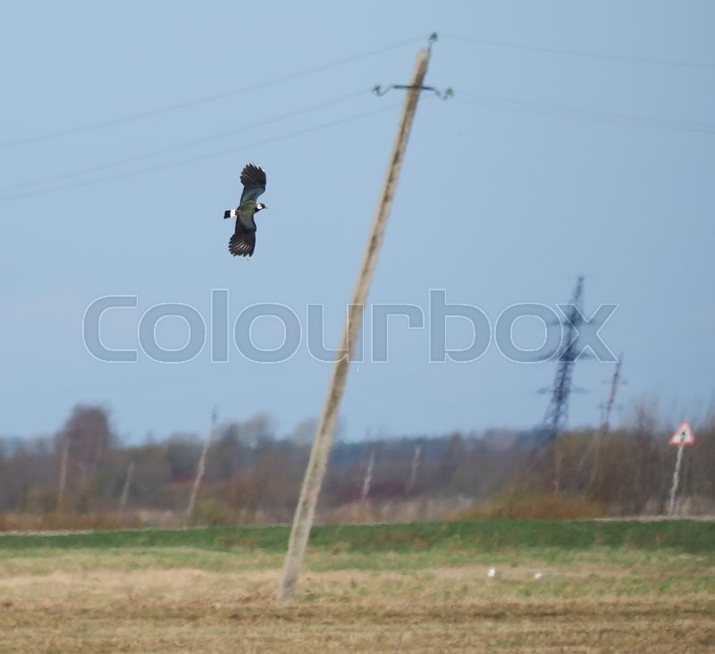 Stock image of 'Lapwing in flight'