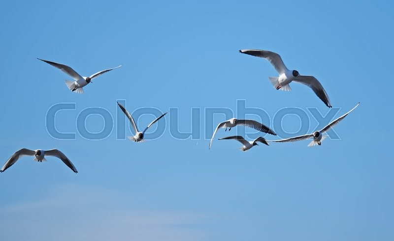 Stock image of 'Seagull in flight'