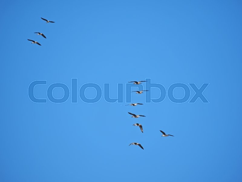 Stock image of 'Geese in flight'