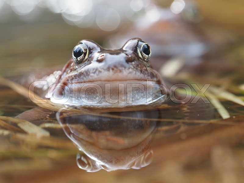 Stock image of 'Frog in pond'
