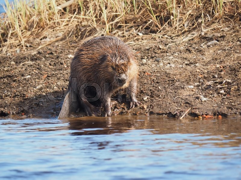 Stock image of 'Beaver on the river'