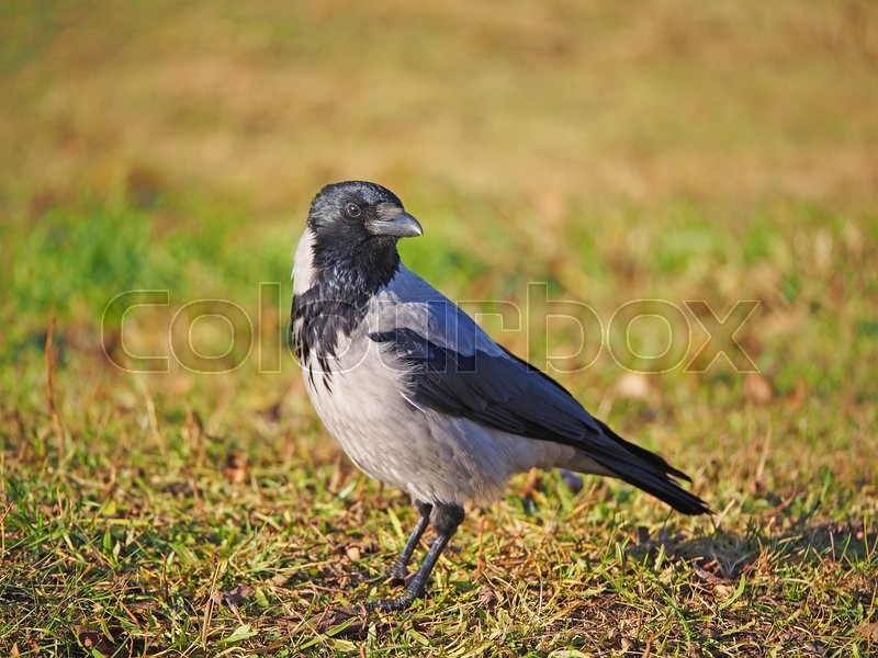 Stock image of 'Crow on the bank of the river'