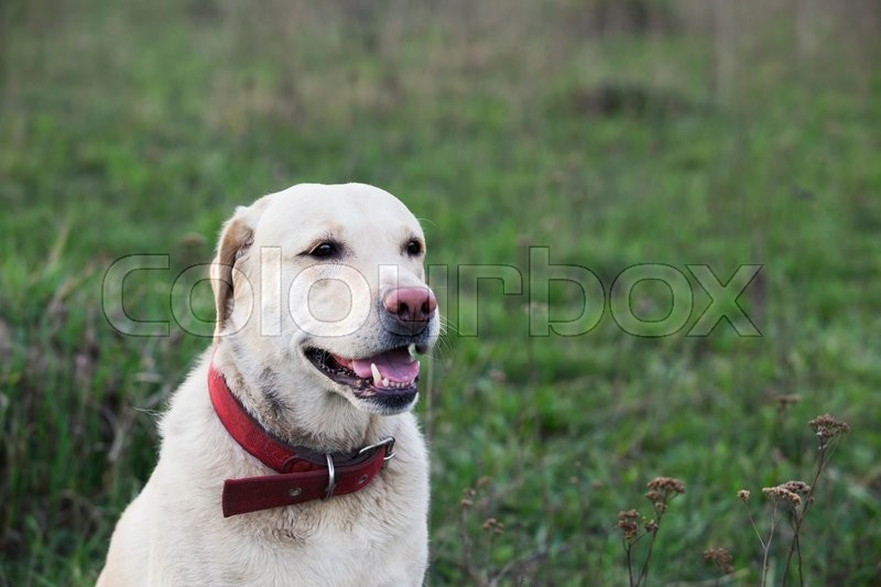 Stock image of 'the dog breed Labrador on a green grass'