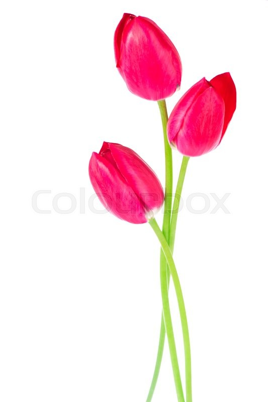 Stock image of 'Studio Shot of Pink and White Colored Tulip Flowers Isolated on White Background'