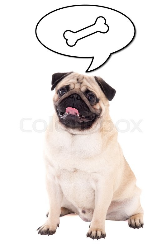 Stock image of 'friendly pug dog sitting and thinking about food isolated on white background'