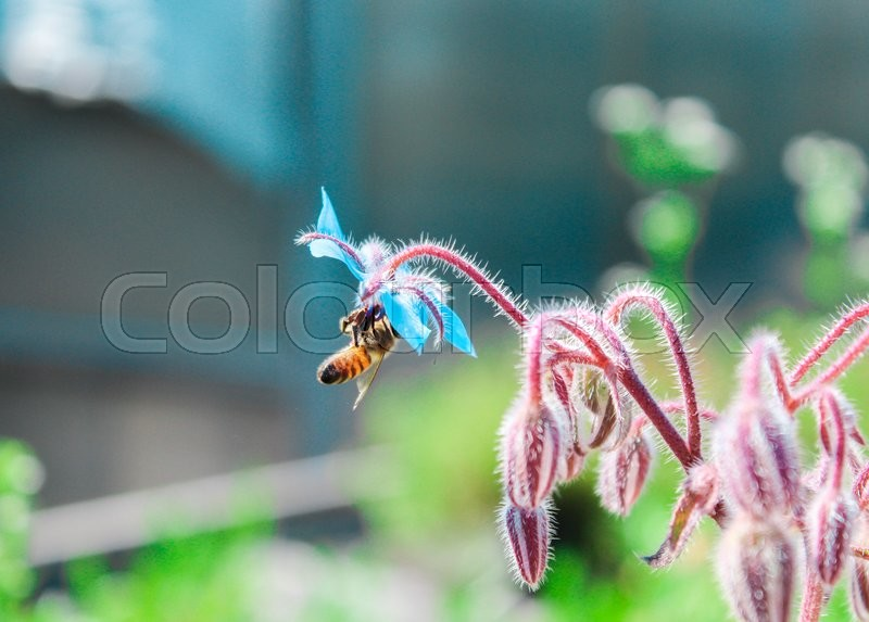 Stock image of 'worker bee sucking nectar from a flower heavenly'