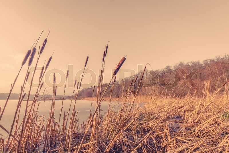 Stock image of 'Sunset over a frozen lake with reeds'