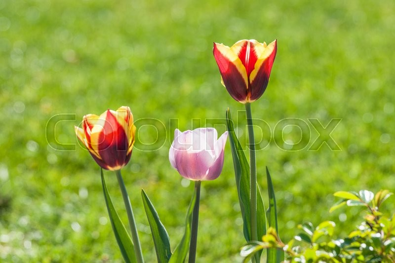 Stock image of 'Tulip flowers in a green garden in the summer'