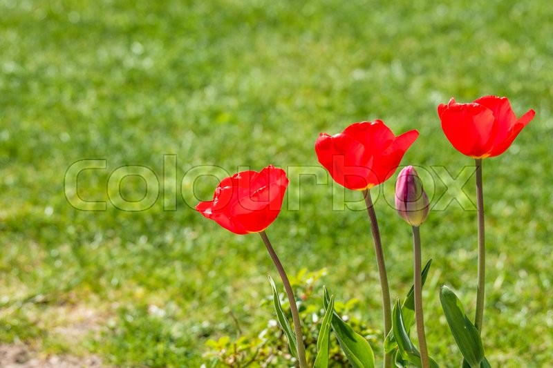 Stock image of 'Red tulips in a garden with a green lawn in the background'