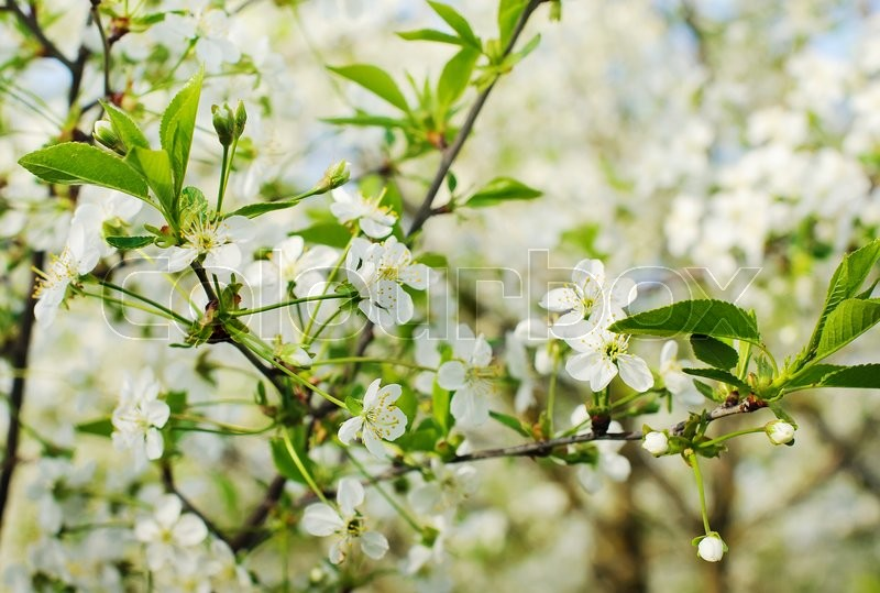 Stock image of 'Beautiful blooming cherry tree in sunny day'