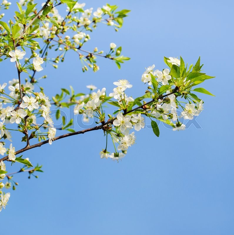 Stock image of 'flowers of a cherry tree which blooms on the way'