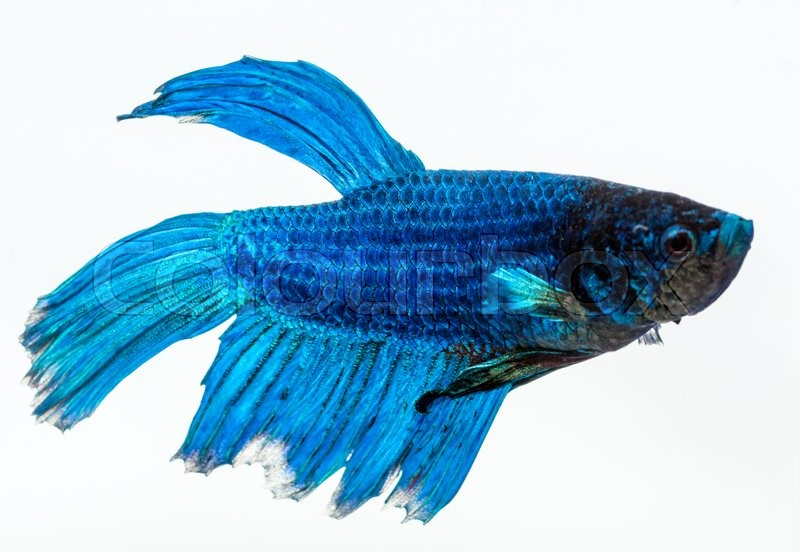 Stock image of 'Blue betta fish, fighter fish, in white background'