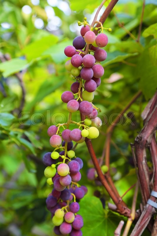Stock image of 'Photo of blue vine grapes'