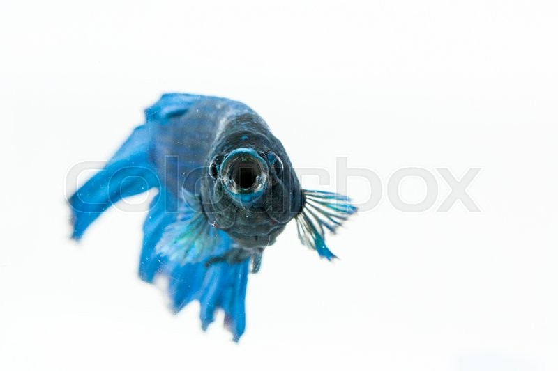 Betta fish opening its mouth and facing to camera. Also known as ...